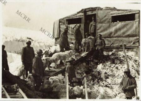 Adamello: Cani da traino