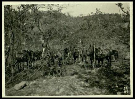 Cavalli per il traino d'artiglieria mascherati fra gli alberi
